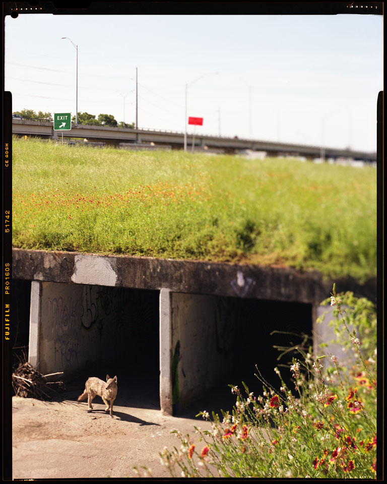Coyote Using Underpass