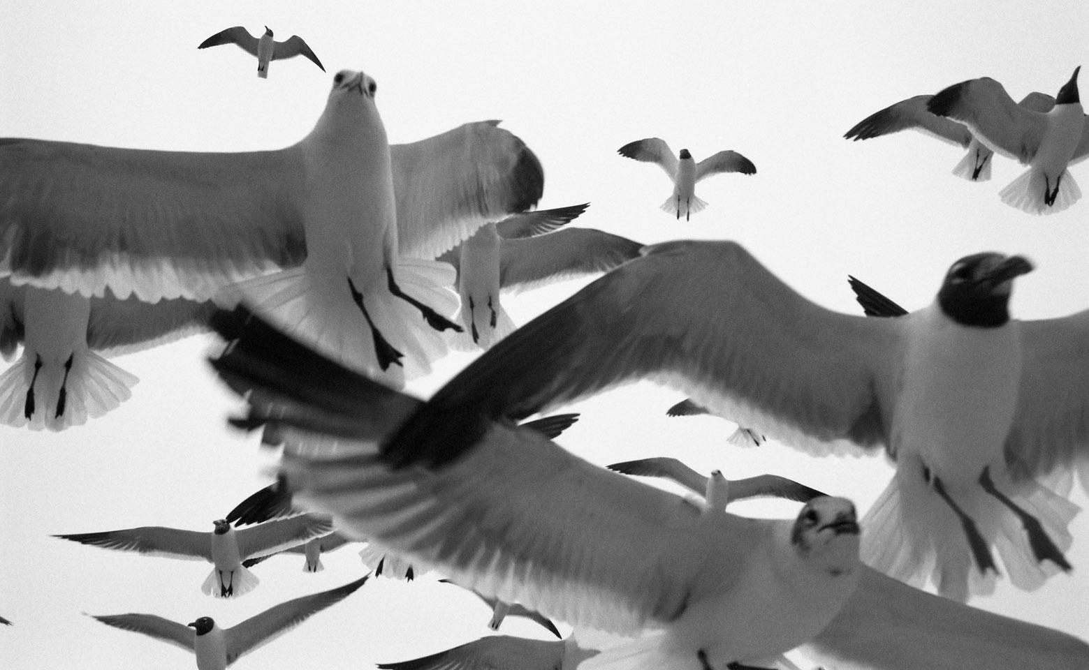 Gulf Gulls